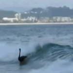 Video: Swans Catching Waves Off Australia's Gold Coast