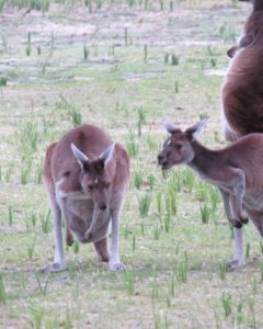 My First Kangaroo in Australia, many and Irish person puts up a picture.