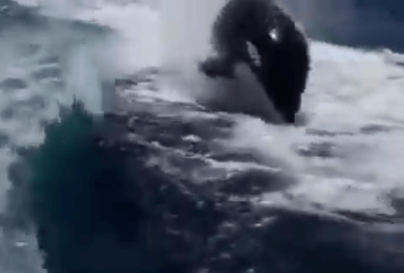 Orcas chase speeding boat YouTube