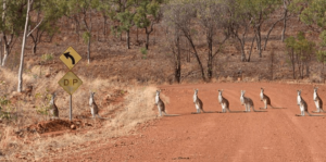 Kangaroos stand in a row along Calvert Road
