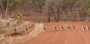 Kangaroos stand in a row along Calvert Road