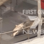 Three Metre Great White Shark Caught Off Bondi Beach