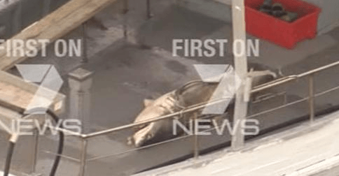 7 News Sydney on Twitter A scare for swimmers at Bondi today with a 2.5m Great White Shark pulled from the nets