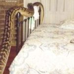 QLD Woman Wakes To Five-Metre Python In Bedroom