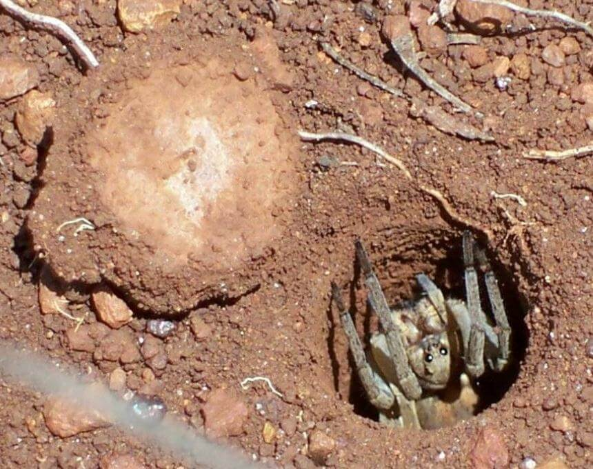 Picture of a trap door spider waiting in it's trap hole.