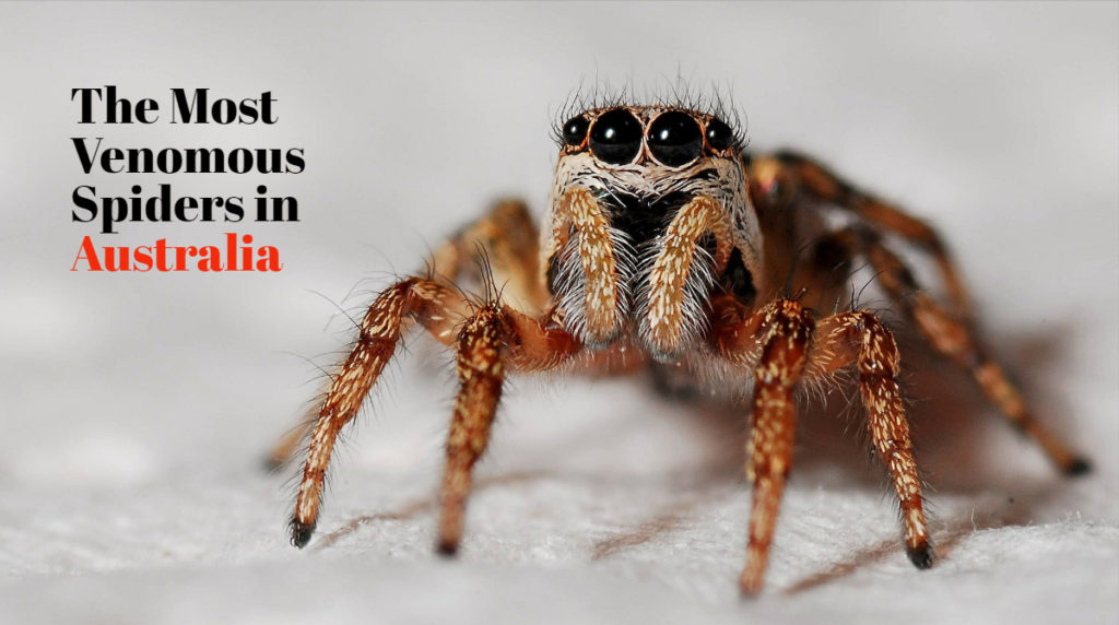 5 Most Venomous Spiders in Australia With Videos